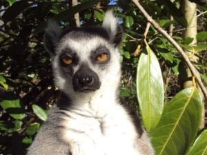 Lemur frowning in the jungle.